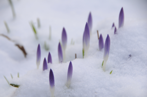 crocus buds emerging from snow