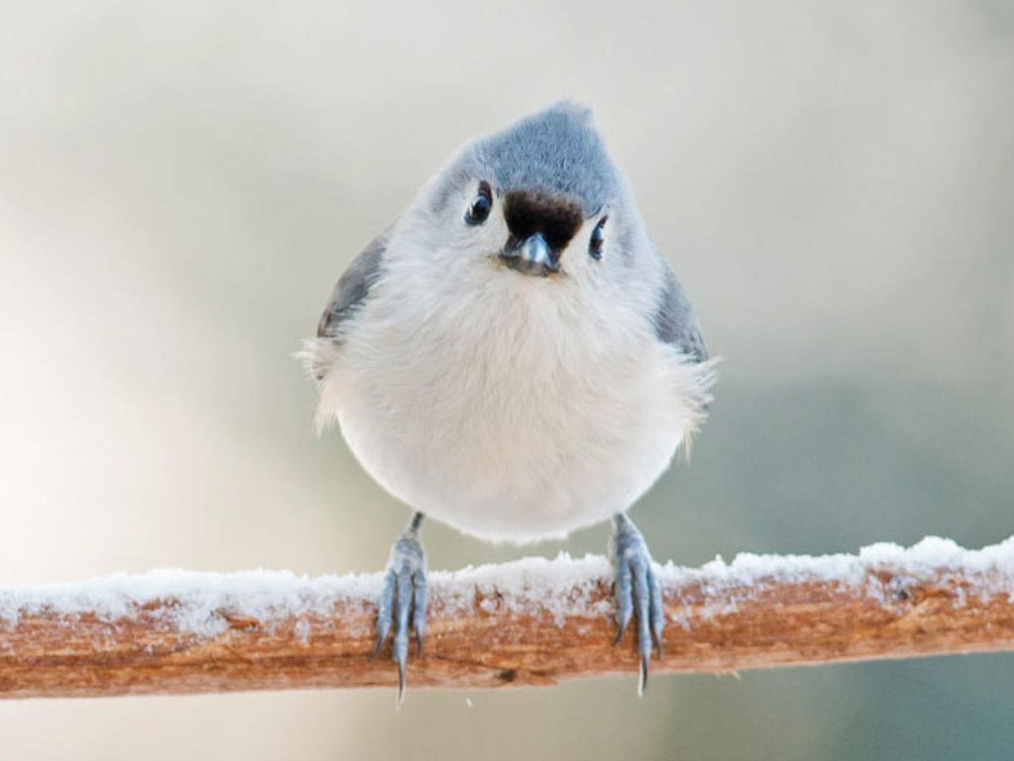 titmouse on a snowy branch