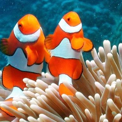 Clownfish in a reef