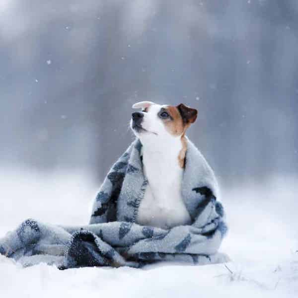 Dog on snowy field, wrapped in blanket