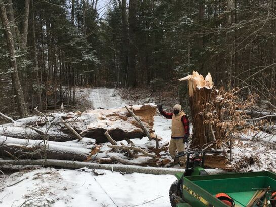 Clearing a large fallen tree from trail at Viking Nordic Center, Vermont.